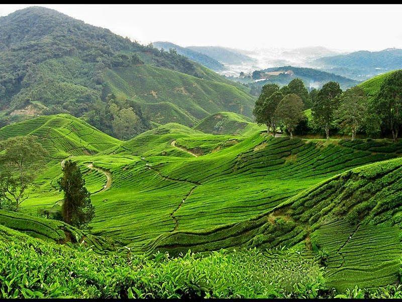 Nillai Tea Estate at Ukhrul<br />Picture credits: plus.google.com