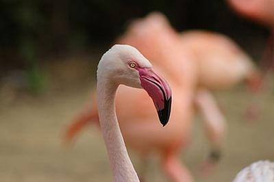 Maharashtra declares Thane creek area as 'Flamingo Sanctuary'
