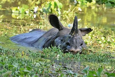 (FILES) In this photograph taken on September 26, 2012 an endangered one horned rhinoceros swims through flood waters at the Kaziranga National Park about 250 kilometers east of Guwahati. Hundreds of rare rhinos and other animals are fleeing flooding in India's northeast, raising fears of a rise in poaching during the exodus, a senior wildlife official said August 25.   AFP PHOTO/ Biju BORO / FILES