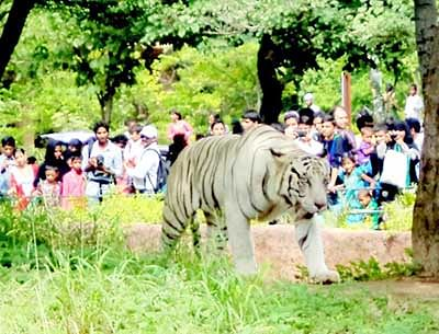 Tiger goes loose in zoo, causes panic