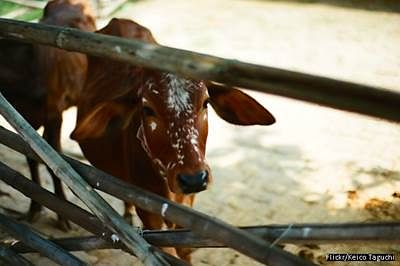 The cow debate as India turns 70