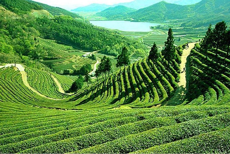 Tea fields of Darjeeling<br />Picture credits: www.ramaniholidays.com