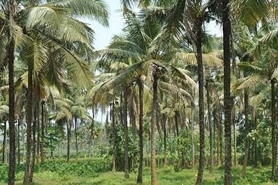Coconut classification: Congress to bring Bill to counter govt move