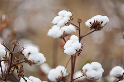 No stay on Centre's Bt cotton order: HC