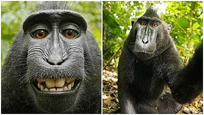 'Selfie monkey' can sue again  for copyright infringement