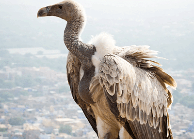 'Vultures on the verge of extinction': Author