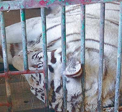 With Shivani's death, end of white tigers at City Zoo