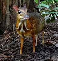 Rare mouse-deer sighted in China
