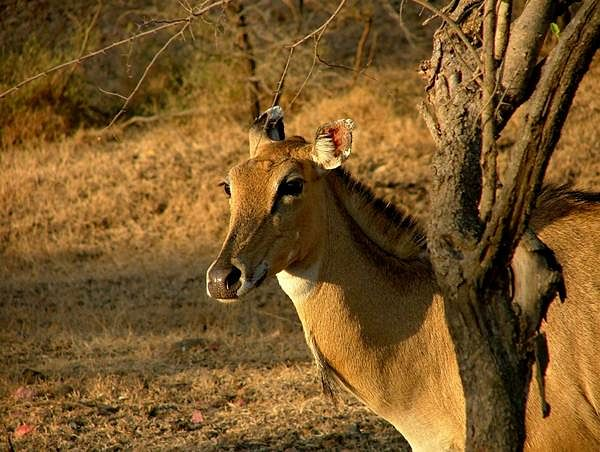 Lion spotting in Gir Forests