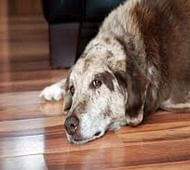 Rare human lung disease discovered in dogs