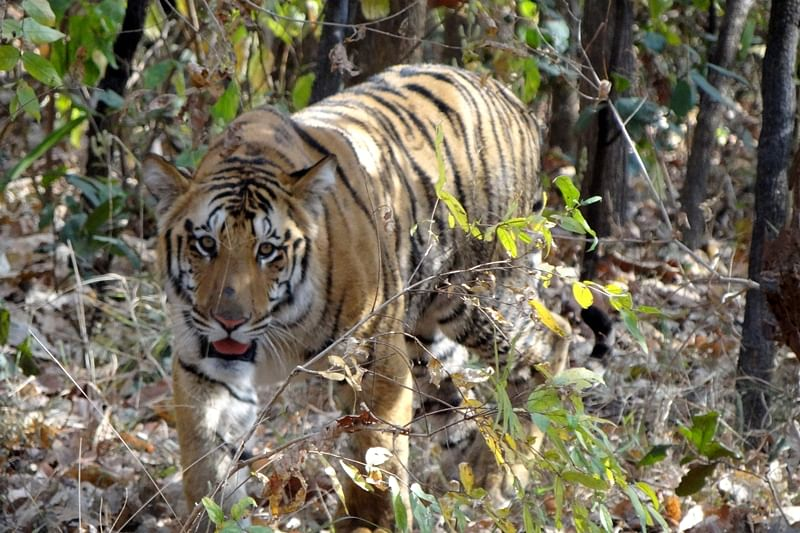 Tigress, 2 cubs found dead in sanctuary in eastern Maharashtra