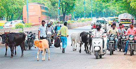 Indoreans have a beef with stray cattle; want them off roads