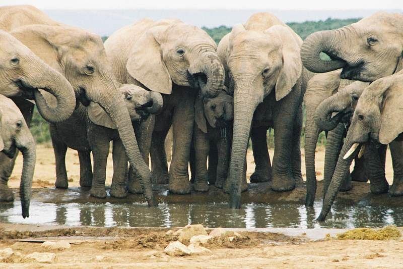Botswana mulls canning elephant for meat