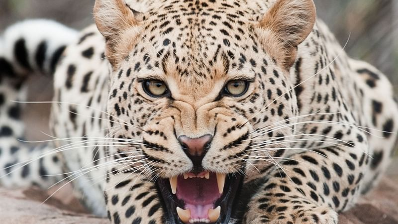 Sidhi: Minor girl killed in leopard attack in Madhya Pradesh's Sanjay Tiger Reserve