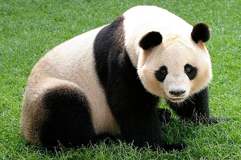 China's first panda cub born through natural mating this year