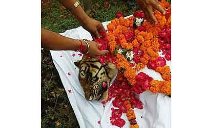 Grand old tigress of Ranthambore, Machli, dies