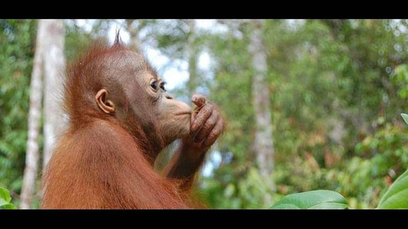 2 booked in Nagpada for illegal trade of orangutan, animal unreadable
