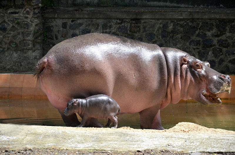 Mumbai Now Home To A Baby Hippopotamus!