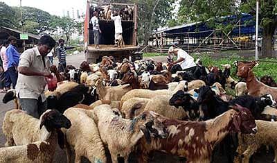'Bali ka bakra' arrive in Mumbai for Bakri Eid
