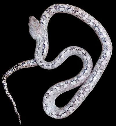 'Ghost snake' species discovered