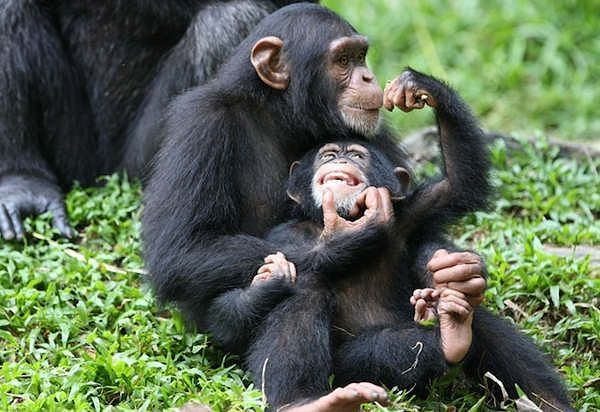 Female chimps don't fight for rank