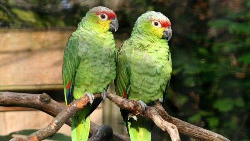 Madhya Pradesh: Parrots spotted robbing opium from poppy farms
