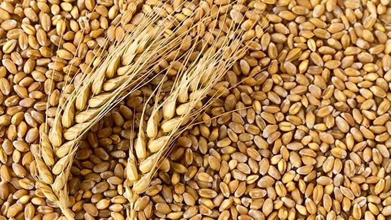 Madhya Pradesh: Prices of wheat continue to rise in Indore, steady in Jaipur