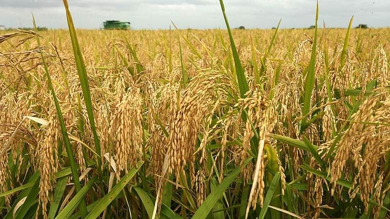Rice farming in India much older than thought: Study