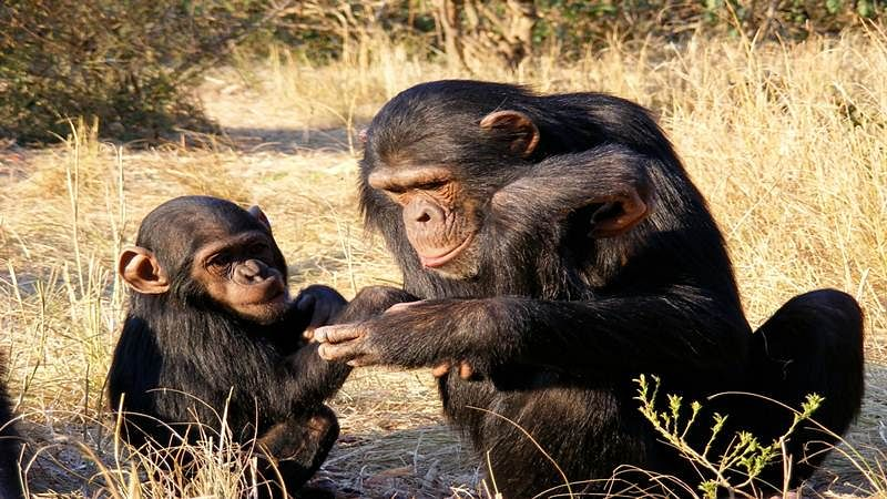 Chimpanzees are good fathers, devoted to their offspring