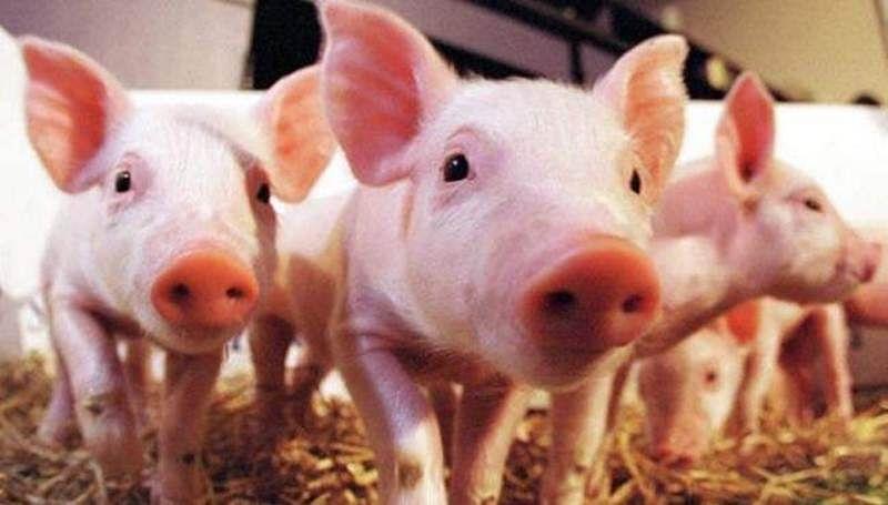 Vietnam culls 1.2 million pigs over swine fever