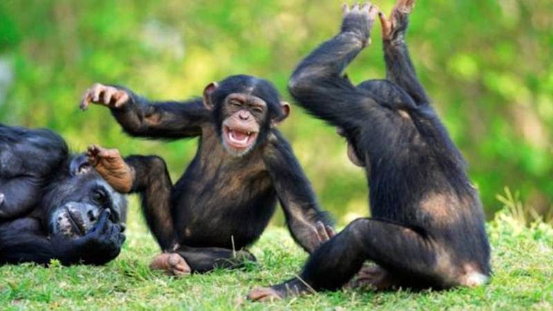 We got dancing skills from chimpanzees