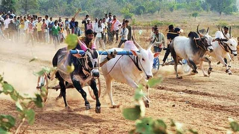 Bullock cart races: Bombay HC refuses to vacate stay, asks can law change anatomy of animal