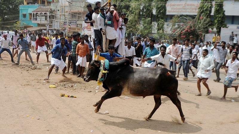 Jallikattu row: Cannot direct Centre, Tamil Nadu to frame special law, says Madras HC