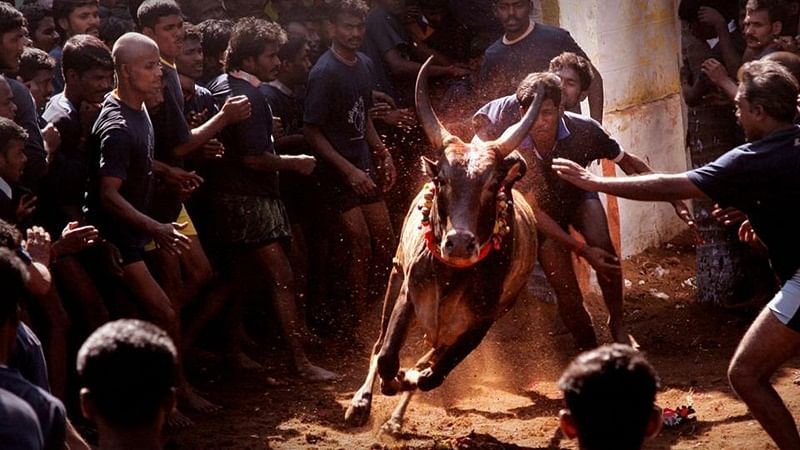 Chennai: Spectator gored to death at Jallikattu