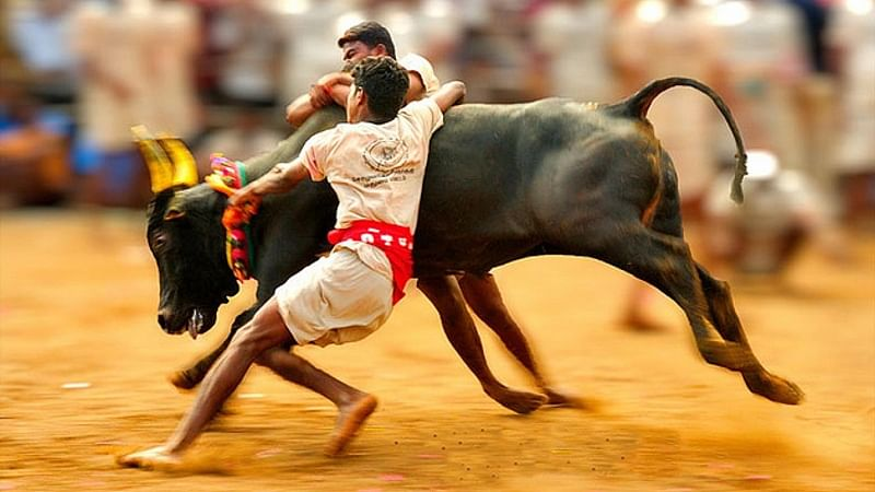 What is Jallikattu? All the history you need to know about this bull-taming sport!