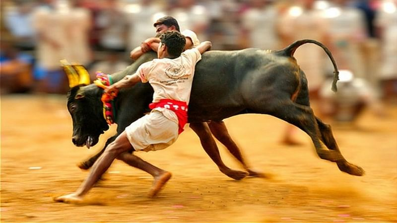 Not possible to deliver judgment on Jallikattu before Pongal, says Supreme Court
