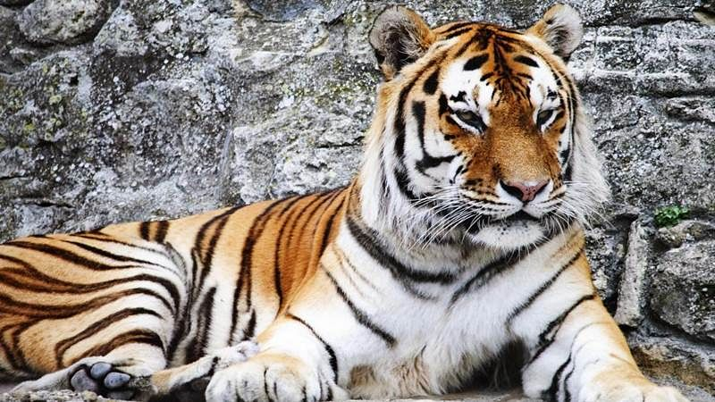 Tigers to roam in Central Asia again