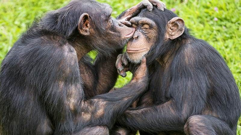 Chimps prefer to choose genetically different mates