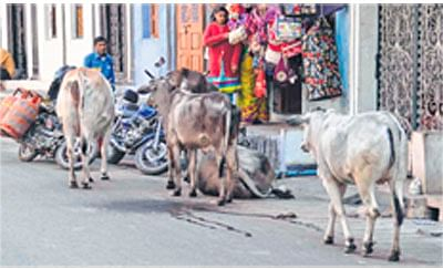 Ujjain Municipal Corporation to take action against stray cattle