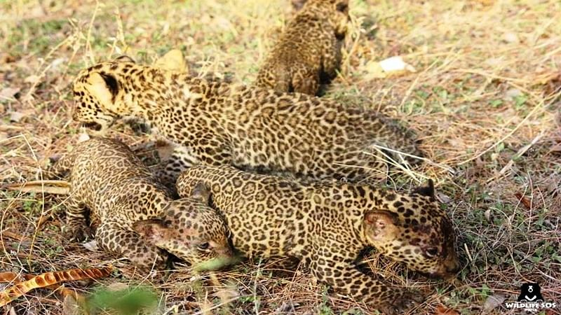 Leopard cub dragged by tail for selfies dies