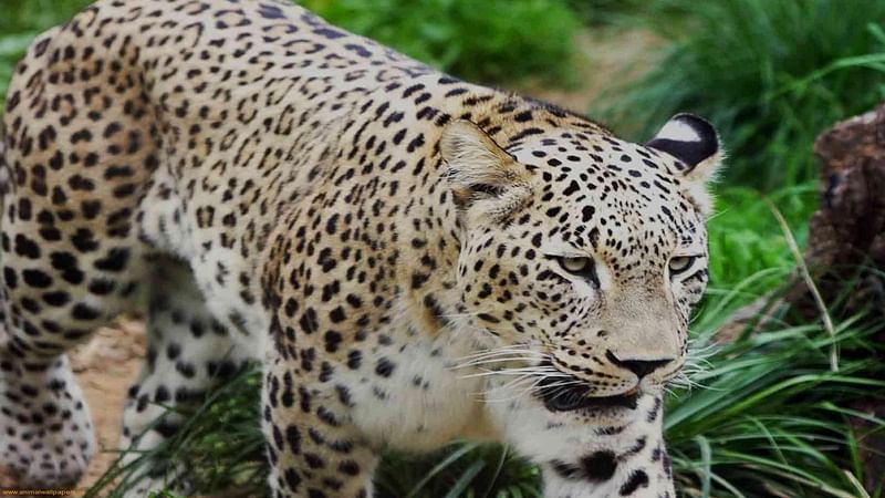 Maharashtra: Jalgaon forest officials 'honey trapped' leopard suspected of terrorising farmers