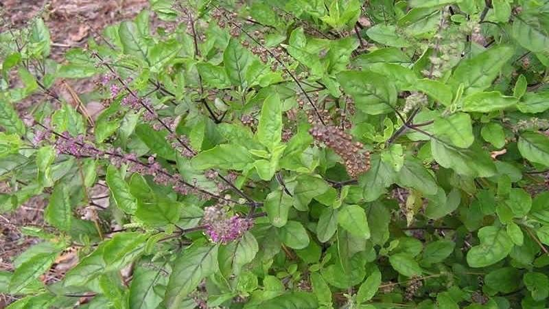 The story of the Basil Plant or Tulsi