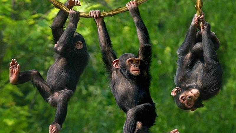 Wild chimps can enjoy longer life