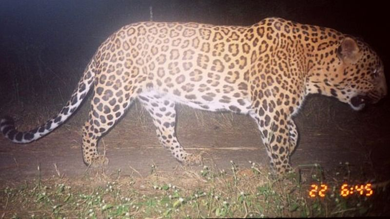Forest Department rescues leopard hit by moving vehicle in Nashik