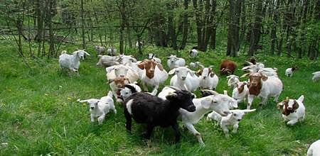 Indore: Appeal against goat, sheep sellers disposed of by HC vacation bench
