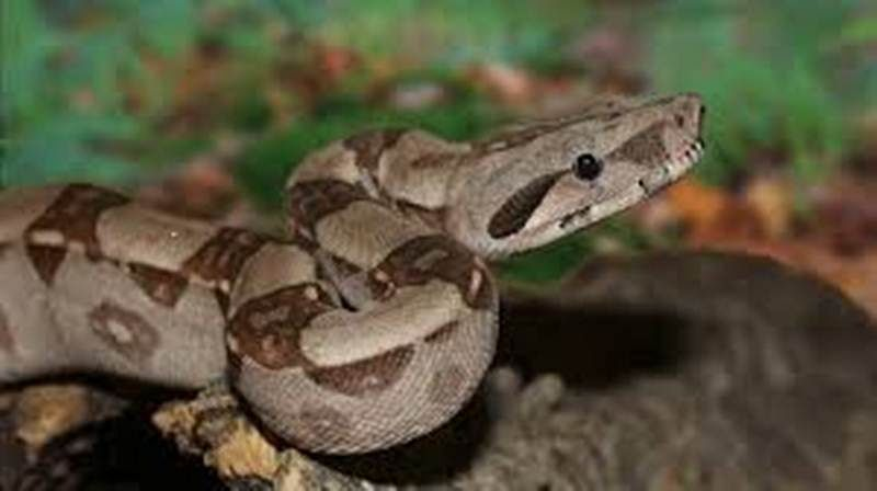 Snakes hunt in groups to boost success: study