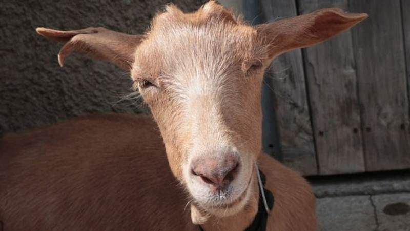 No kidding matter: How a dead goat ended up costing a mining company Rs 2.68 crore