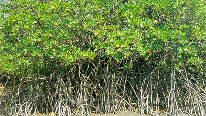 Mumbai: Massive loss in mangrove saplings in last 4 years