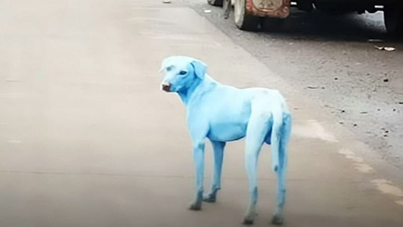 In Mumbai, stray dogs are turning blue in colour