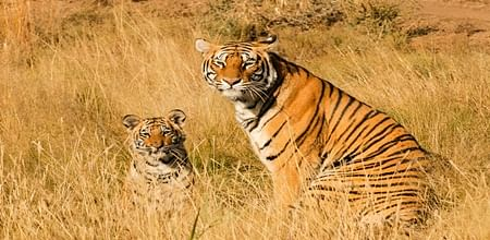 Bhopal: It's high time to declare protected areas for tigers: Environmentalists